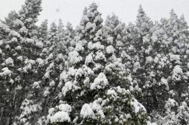 芦炭窯横の杉の木